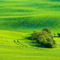 Wavy Green Wheat Fields