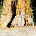 Giant Sequoia. California
