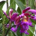 Orquidea típica de Cusco