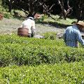 お茶摘み体験風景