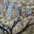 品川区の子連れで通える整体院・さいとう整体/齋藤史生の笑文字/桜