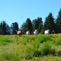 Vaches du plateau ardéchois !