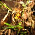 komische Spinne, muss noch rausfinden, wie die heissen. Schaut von weitem aus wie ein vertrocknetes Blatt.