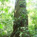 Baum mit bestimmt 2 m Durchmesser.