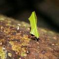 Blattschneideameisen schneiden sich Blattstueckchen von bestimmten Baeumen die sie dann in ihren Bau transportieren wo dann auf den verwesenden Blaettern ein bestimmter Pilz waechst, von dem sich die Ameisen ernaehren.