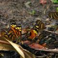 viele Schmetterlinge.