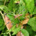 Spinne, eine von denen, die ich letztens schon gesehen habe. Ungefaehrlich. Echt!!!
