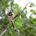 diese Spinne ist giftig