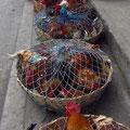 Von diesen Tieren haben die Chicken-Busse ihren Namen. Die kamen dann alle ganz flott aufs Dach des Busses! Arme Viecher!