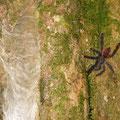 eine mittelgrosse Vogelspinne/ Tarantel neben ihrem Nest