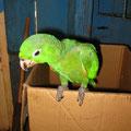 diesen Papagei zieht Olim bei sich zu Hause auf!