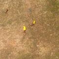 Das sah voll lustig aus: Als ich gestern heimkam, schwebten die Blütenblätter über den Boden; bei genauerem Hinsehen, hab ich dann gemerkt, dass es von Ameisen getragene Blütenblätter waren. Cool, nä?