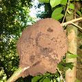 Termitensiedlung im Baum [sieht man hier oft].