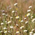 desert flowers @ Alice Springs Desert Park