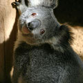 Koala @ Lone Pine Koala Sanctuary