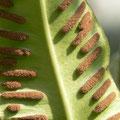 Fougère scolopendre