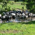 Passage d'un troupeau de 80 vaches
