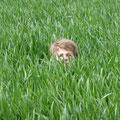C'est amusant de se cacher dans les champs de blé !