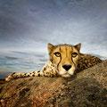 Klaus-Peter Selzer - Cheetah