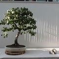die bonsai-rama Birke