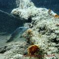 Rotmeer-Spitzkopfkugelfisch