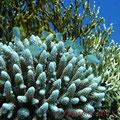 Blau-grüne Chromis