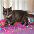 Contessa Black Tortoiseshell Female 11 weeks
