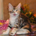 Piper Rose Calico Maine Coon Female 11 weeks
