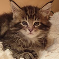 Astrid Black/ Brown Classic Tabby 6 weeks