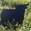 Kleiner Stier Nr. 12 in Groß auf Abwegen im Gebüsch. :-)