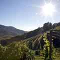 Weinberge bei Ortenau © Badischer Wein