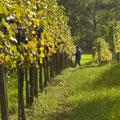 Wein Rebstöcke © Werbegemeinschaft Markgräflerland GmbH