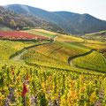 Blick über die herbstlichen Weinhänge an der Ahr (Copyright/Fotograf: Rheinland-Pfalz Tourismus, Dominik Ketz)