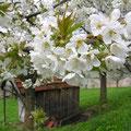 Die Kirschblüte in Witzenhausen.
