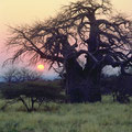 Baobab Baum in Limpopo