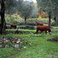 Des vaches au grand champ