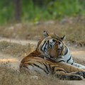 Kanha Tiger Reserve, India