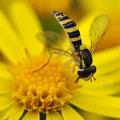 Insecte sur Séneçon