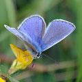 Argus bleu sur lotier
