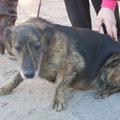 P E R E L K A - kleines, ängstliches Mix-Mädchen, geb. 12.2004, ca. 35 cm, seit 04.2005 (Welpe)  im Tierheim