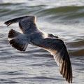Gleitflug über den Wellen. Heiko Friedel