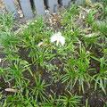花は小さいですが、地植えのさぎそうです