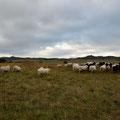 Die Schafe betreiben hier die Landschaftspflege