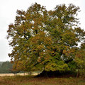Die Winterlinde von Speck gehört zu den Monumentalbäumen in Deutschland