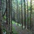 Der Weg im Nadelwald