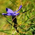Kleine Enzianblüte im Gras