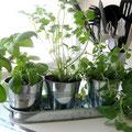 Plantes aromatiques en pot sur plateau de zinc