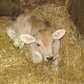 Our neighbour's new calf
