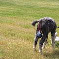 """Kurze Zeit später kommt die Nachgeburt. Die """"Tanten"""" kommen neugierig um das neue Herdenmitglied zu begrüßen."""