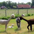 """Oftmals wird eine Geburt das """"Happening"""" innerhalb der Herde und die anderen Stuten schauen neugierig zu."""